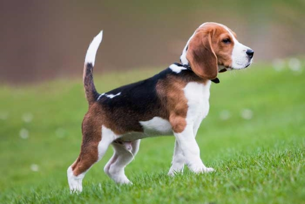 7 Allergies mes frequents als Beagles i com evitar les